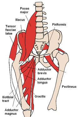 anterior_hip_muscles